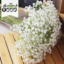 BABY'S BREATH -  (2000 Seeds) QUALITY CUT FLOWERS Beds FREE BLOOMER Borders