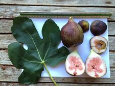 Delicious Fig Trees * Ficus Carica Var. CUL D' ASSE 3 fresh cuttings