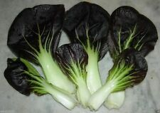 PAK CHOI~Dark Purple Leaf pak choi ~300 Seeds  Non-Heading Leaf Chinese Cabbage