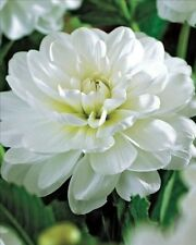 Pack x1 Dahlia 'White Onesta' WPC. Prins Quality Summer Bulbs & Tubers
