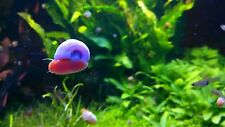 8+ Live Ramshorn Snails Aquarium or Pond, Algae Clean Up!  SHIPPED DAILY!