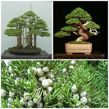 50 graines de Juniperus Chinensis , Juniper chinois,  graines bonsaï F