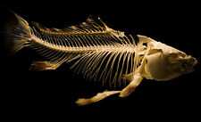 ANCHENT FISH SKELETON POSTER 22x36 HI RES