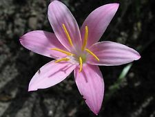 Rain Lily, Zephyranthes Summertime, 2 bulbs, mixed sizes, NEW, habranthus