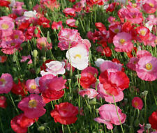 SHIRLEY POPPY DOUBLE MIXED COLORS Papaver Rhoeas - 50,000 Bulk Seeds