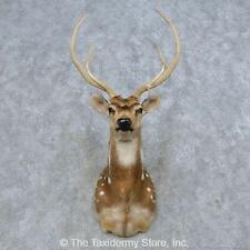 #14669 F+ | Axis Deer Taxidermy Shoulder Mount For Sale