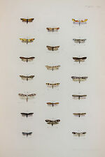 Antique Victorian Moth Print by Rev. Morris, Hand Coloured Engraving (ref 113)
