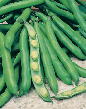 TUSCAN HEIRLOOM BROAD BEAN FAVA LUNGA DELLE CASCINE  FOOT LONG PODS  50 SEEDS