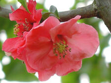 """20 FLOWERING JAPANESE QUINCE  SEEDS - Chaenomeles speciosa """" Pink lady """""""
