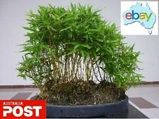 20 X MOSO BAMBOO TREE SEEDS / BONSAI