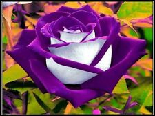 Flower seed - Purple White rose seed