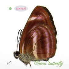 2 unmounted butterfly Nymphalidae Neptis meloria GUANGXI SPRING FORM A1- #G5