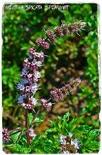Hierbabuena Mentha Spicata' ' 1000+ semillas