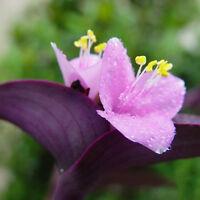 100 stk Samen Lila Riesenbambus Dendrocalamus Strictus Baum Garten Deko  Heiß