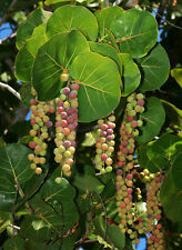 5 graines RAISINNIER BORD DE MER(Coccoloba Uvifera)G153 SEA GRAPE SEEDS SEMILLAS