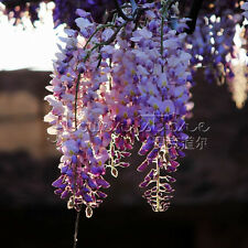 5 Vine Wisteria Tree Seeds Slight Scent Easiest Container Bonsai Garden Plant