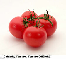 Tomato RED 12 Celebrity Heirloom Tomate EXCEED TASTE GREAT SIZE COMB S/H ++ GIFT