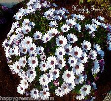 African Daisy WHITE - Osteospermum Ecklonis - 50 seeds - FLOWER