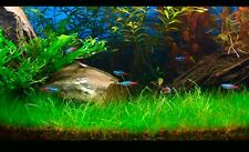 Plant Grass Seeds Aquatic Glossostigma Decor Home Garden for FishTank/Pond