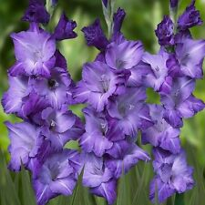 "NUOVO Pack 10 GLADIOLI ""Blue Mountain"" Estate fioritura LAMPADINE WPC Prins Qualità"