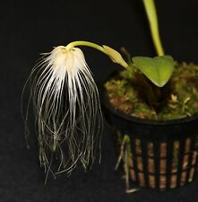 Orchid species Bulbophyllum medusae