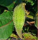 Papageienpflanze * WINTERHART * SEHR SELTEN * 30 Samen * Asclepias syriaca