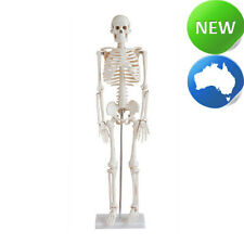 Medium Human Skeleton on Stand - Anatomical Model 85cm - Medical Anatomy