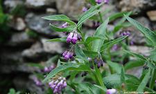 10 Samen Echter Beinwell  - Symphytum officinale - Heilpflanze Saatgut  001442