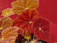 """Begonia Plant Autumn Embers 4"""" Pot Rhizomatous"""