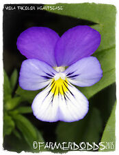 Viola tricolor 'heartsease' [ex. Co. Durham] 100+ semillas
