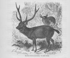 Sambar  Pferdehirsch Rusa unicolor Holzstich von 1891 Hirsche Cervidae