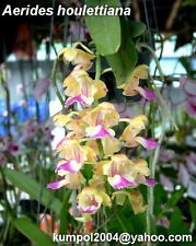 Orchid specie seeds: Aerides houlletiana - Year 2015