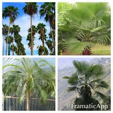Palmera Collection - 40 fresca Tropical Seeds - 4 exótica de las variedades-Mega Pack