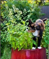 Catnip 75 Fresh Seeds Catmint Cat Mint Nepeta Cataria Perennial Free Ship!