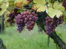 Vitis vinifera Gewurtztraminer WINE GRAPE Seeds!