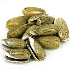Olive Shells x 10 Drilled Seashells, Sea Shells Shell Beads Jewellery Crafts SH1