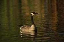 043071 Canada Goose A3 Photo Print