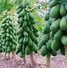 8Pcs Vintage Garden Maradol Papaya Seeds Vegetable Fruit Outdoor Yard Plant Seed