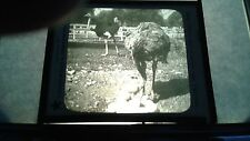 VINTAGE COLLECTIBLE GLASS PICTURE NEGATIVE A NEST of OSTRICH EGGS CALIFORNIA