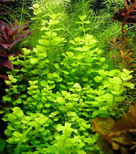 Bunched Golden Creeping Jenny Lloydiella Live Aquarium Plants  baby tears