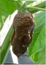 Vegetable - Chilli / Chili Pepper - Chocolate Bhut Jolokia - 10 Seed