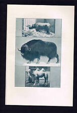 Two-Horned Rhinoceros, Musk Ox, Camel, Cow,  Buffaloes -1907 Prints