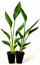 Orange Bird of Paradise - 2 Pack Mature Hardy Easy to Grow Indoor House Plants