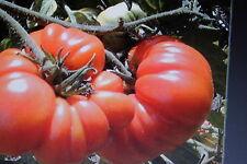 10 Semi Di Pomodoro Marmande#449