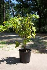 Thompson Seedless Grape 2 Gal. Live Healthy Vine Plants Vines Plant Sweet Grapes