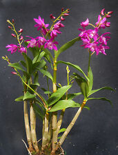Dendrobium Johnathan's Glory 'Dark Joy',    orchid plant in spike
