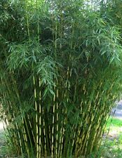 Fresh and Rare Black Bamboo Seeds Fargesia Sp Jiuzhaigou 4 Hardy
