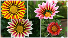 0.2g (appr. 50) treasure flower seeds GAZANIA RIGENS nice, good for containers
