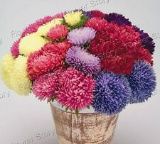 Fruity Fragran  50 Chinese Aster Seeds Smart Garden Life Long Lasting 1