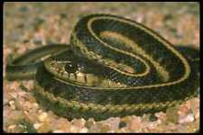 087020 Western Aquatic Garter Snake A4 Photo Print